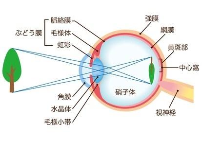 目の仕組みと白内障
